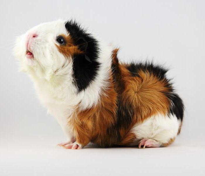 Морская свинка на травке породы Абиссинская
