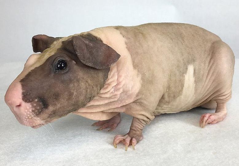 Морские свинки породы Болдуин