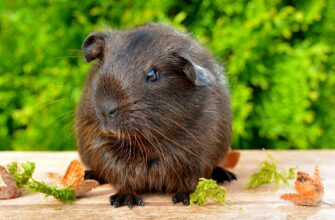 Сколько живет морская свинка?